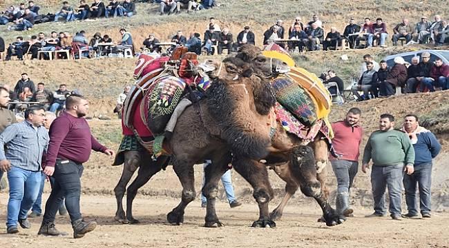 Turgutlu'da Deve Güreşi Festivali