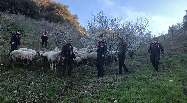 Turgutlu'da Kaybolan Sürüyü Jandarma Buldu
