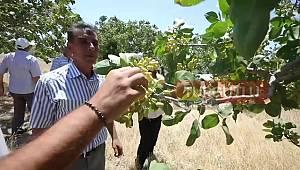 Manisa'da Menengiç Ağaçlarına Antep Fıstığı Aşılandı