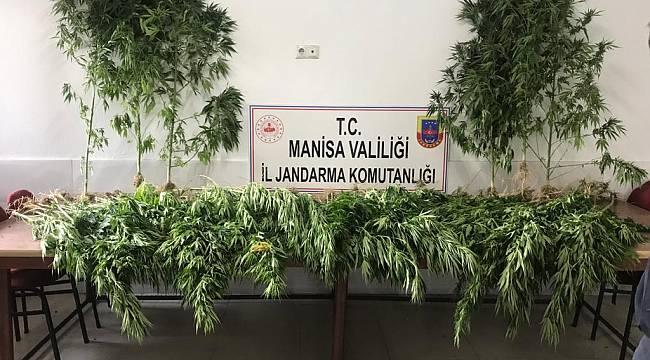Manisa'da Ormanlık Alanda 287 Kök Hint Kenevir Ele Geçirildi